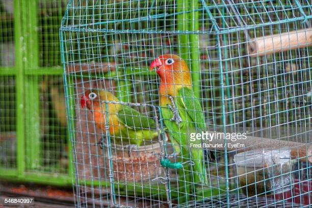 Fischer Lovebirds In Cage
