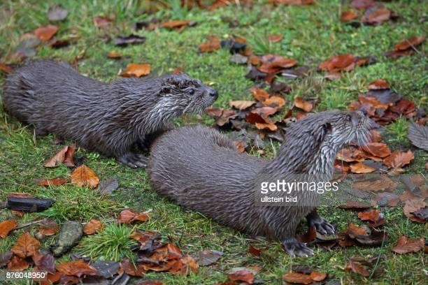 Fischotter zwei Jungtiere rechts sehend in gruener Wiese mit herbstlich verfaerbten braunen Blaettern