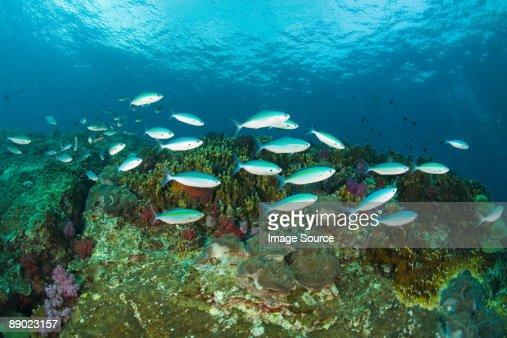 Fish at richelieu rock : Stock Photo