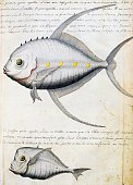 Fish called Lisse and Moon fish Sao Vicente island Cape Verde watercolor from the log book by Jacques Gouin de Beauchesne captain of the Compagnie...