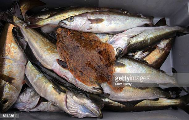 Fish caught by Cornish fisherman Chris Bean and his crewmate Mario 'Chino' Rios are prepared aboard their fishing boat a few miles out to sea near...