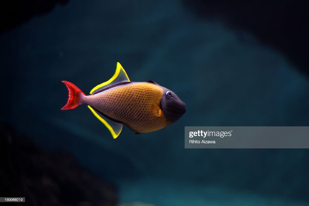 fish dressed in costume : Stock Photo