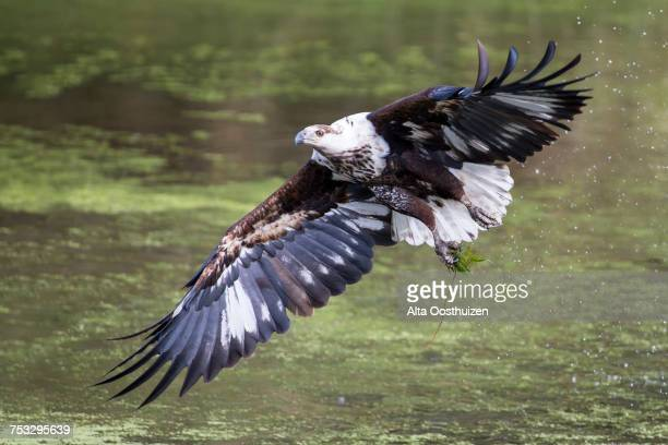 Eagle Flying High Stock Photos And Pictures Getty Images