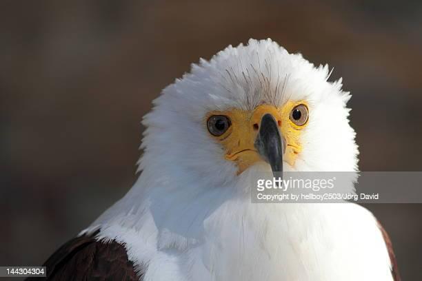 Fish Eagle (Haliaeetus vocifer)