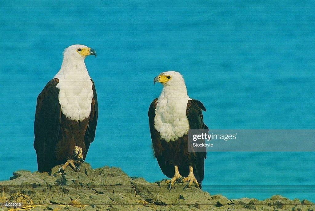 Fish Eagles, Chobe, Botswana : Stock Photo