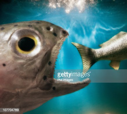 Fish Eating Fish : Stock Photo