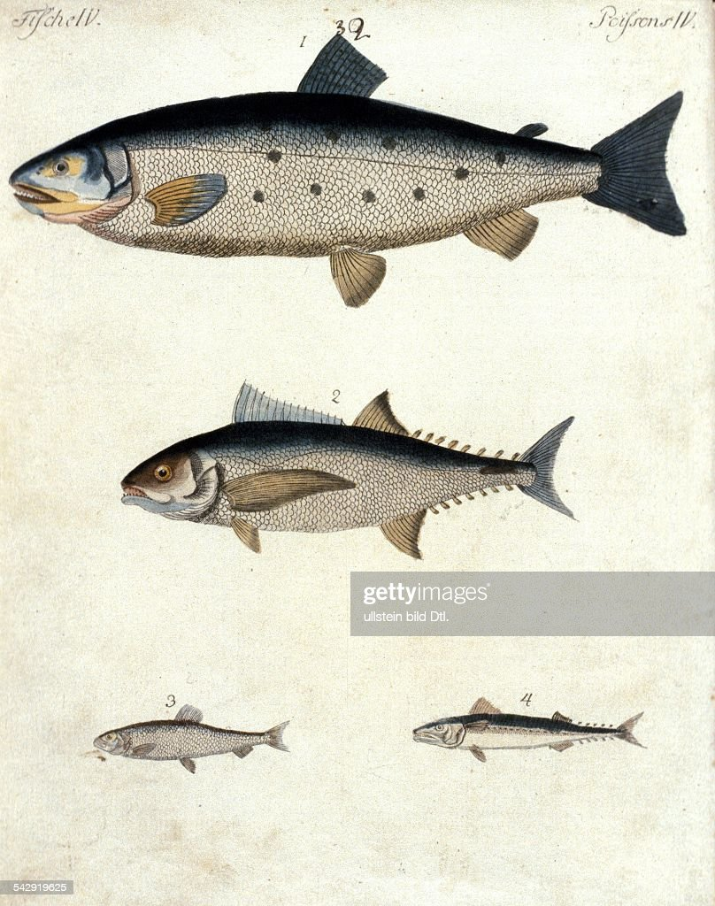 fish engravings from the 18th century different kinds of fish