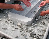 Baby sea bream fishes in proseccing