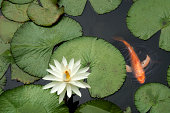 Water lilies  and a goldfish in a pond