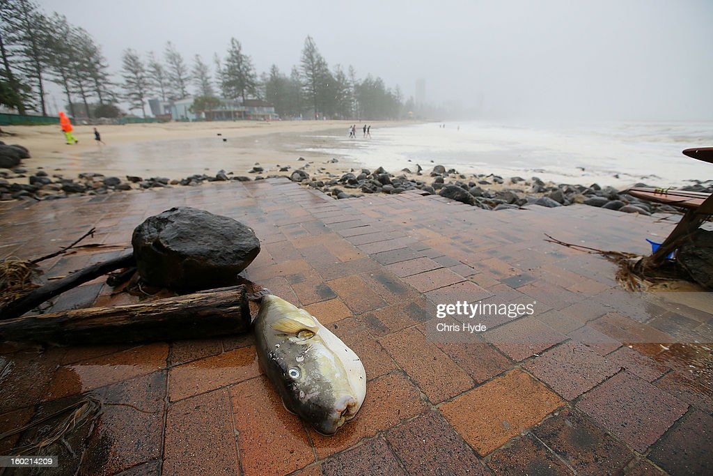 A fish lays on the footpath in Burleigh Heads as Queensland experiences severe rains and flooding from Tropical Cyclone Oswald on January 28, 2013 in Gold Coast, Australia. Hundreds have been evacuated from the towns of Gladstone and Bunderberg while the rest of Queensland braces for more flooding.