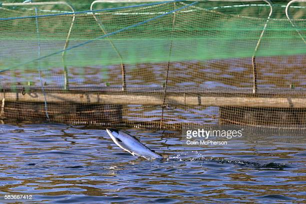 salmon farming in british columbia and sea lice essay One place that has garnered international media attention is british columbia's increased fish farming and increases in sea lice and salmon farming.