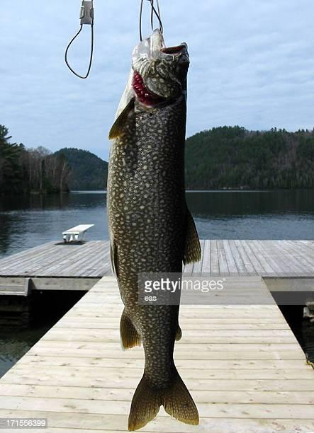 Peixes em Stringer