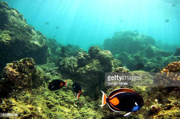 Fish pass over a coral reef at Hanauma Bay on January 15 2005 in Honolulu Hawaii Many coral reefs are dying from water pollution dredging off the...