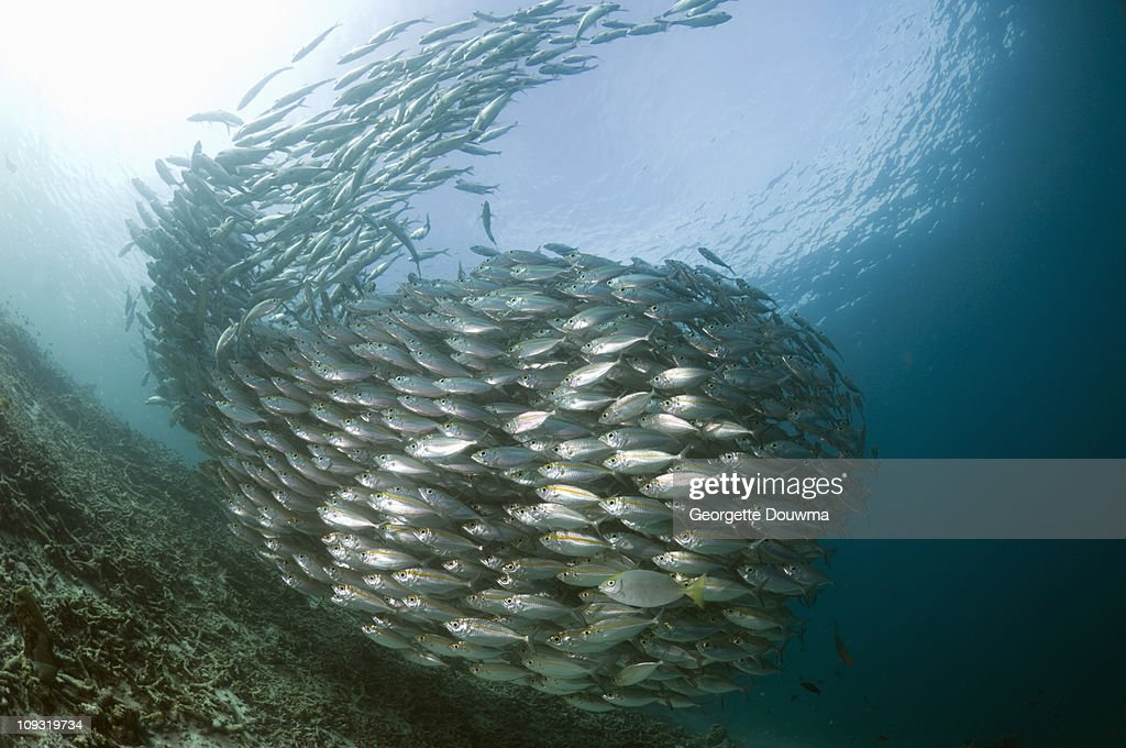 Fish school : Stock Photo