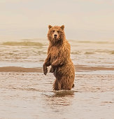 Fish Scouting - a large grizzly bear (brown bear) sow stands up for a better view of the salmon in the surf. Lake Clark National Park, Alaska.