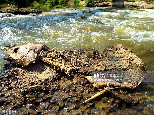 Fish Skeleton On Rock By River