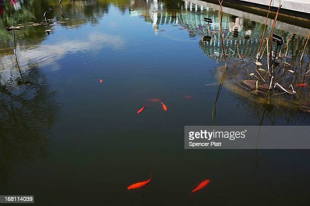 Fish swim in a pond at the Brooklyn Botanical Garden on May 5 2013 in New York City The botanical garden which sits on 52acres features numerous...