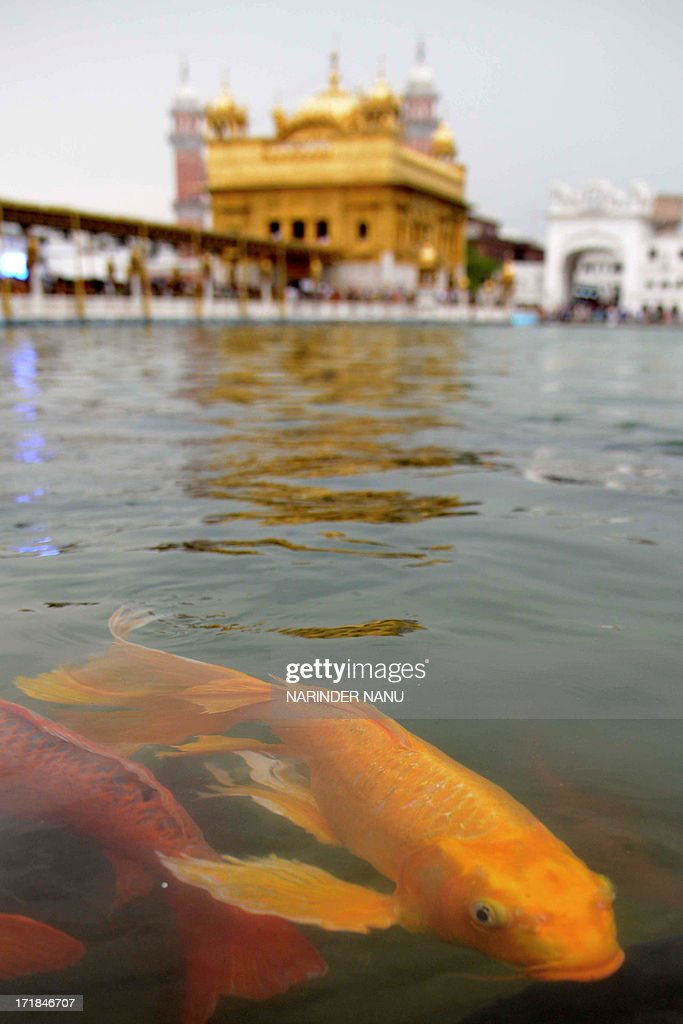 Fish swim in the holy sarovar (water tank) at the Sikh Shrine, The Golden Temple in Amritsar on June 29, 2013. On the occasion of the 174th death anniversary of Majaraja Ranjit Singh. Singh was also known as 'Sher-e-Punjab' or 'Lion of Punjab' and is remembered for uniting the Punjab as a strong nation and his possession of the Koh-i-noor diamond. Singh, who was born in Gujranwala in 1780, was the ruler of the Pakistani Punjab province and died on June 27, 1839.