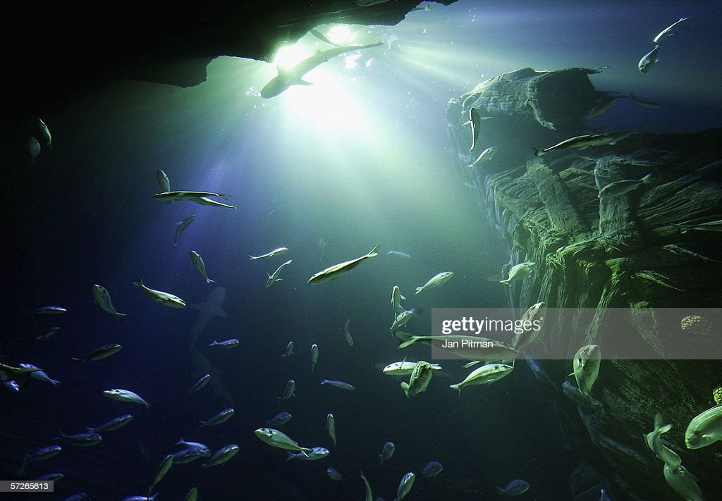 Fish swim in the new SeaLife Aquarium in the Olympic Park on April 6 2006 in Munich Germany Visitors can view about 10000 animals from 150 different...