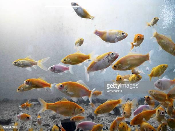 Fish swimming in fresh water aquarium