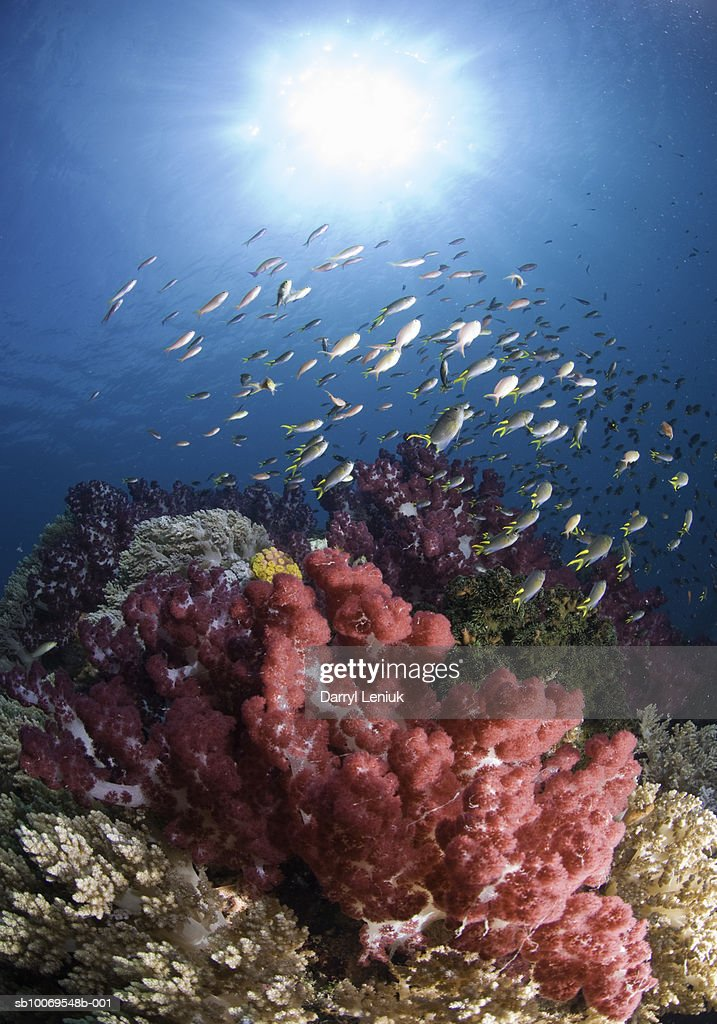 Fish swimming near coral reef : Stock Photo