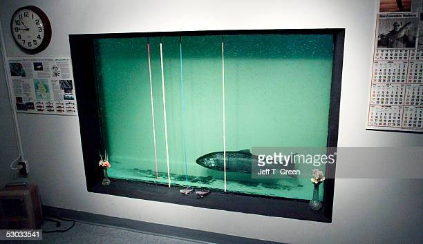 A fish swims in the counting window at McNary Lock and Dam on the Columbia River June 7 2005 near Umatilla Oregon An estimated 53000 chinook salmon...