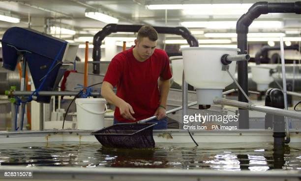 Fish Technician Nick Gibbs checks the fish in one of 48 tanks at Europe's first ever Barramundi fish farm near Lymington in the New Forest Hampshire...
