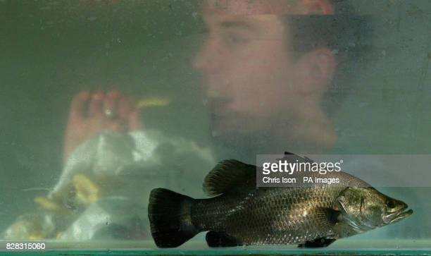 Fish Technician Toby Holt eats his lunchtime chips as a Barramundi swims past in Europe's first ever Barramundi fish farm near Lymington in the New...
