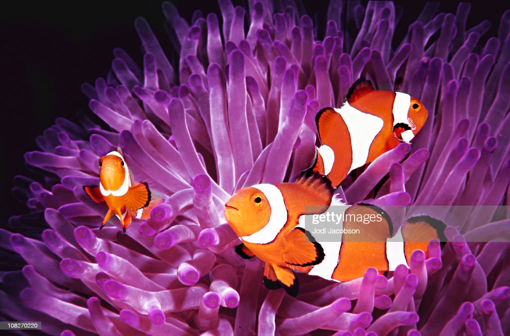 Topical saltwater fish ,clownfish (Amphiprion Ocellaris) : Stock Photo
