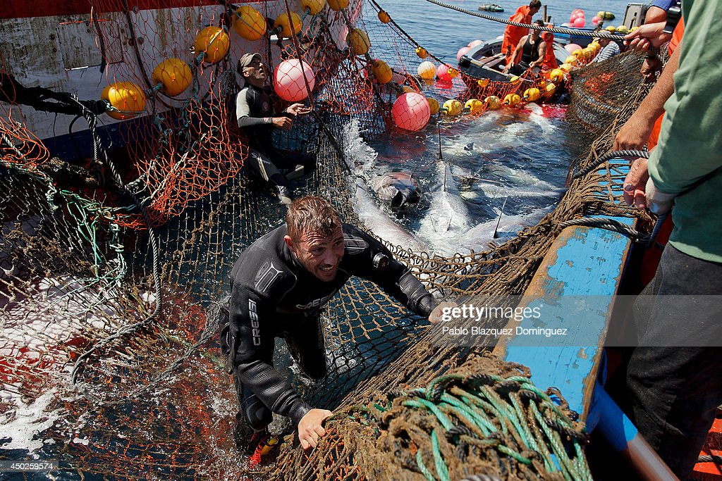 A fisherman climbs the nets on to the boat as they fish bluefin tunas during the end of the Almadraba tuna fishing season on June 3, 2014 near the Barbate coast, in Cadiz province, Spain. Almadraba is a traditional bluefin tuna fishing method in Southern Spain already used during Phoenician and Romans times. Fishers place mazes of nets to catch tuna migrating from the Atlantic Ocean to the Mediterranean Sea and select those that have the best size. Almadraba tuna is well demanded by Japanese for its quality. Today fishers use a different technique to control the catch amount by releasing many of the bluefin tunas before hauling the nets to avoid exceeding their limited quota fixed by International Commission for the Conservation of Atlantic Tunas 'ICCACT'. Almadraba fishers association claim the fishing quota could now be increased as fishers are struggling and the tuna population has recovered quite well.