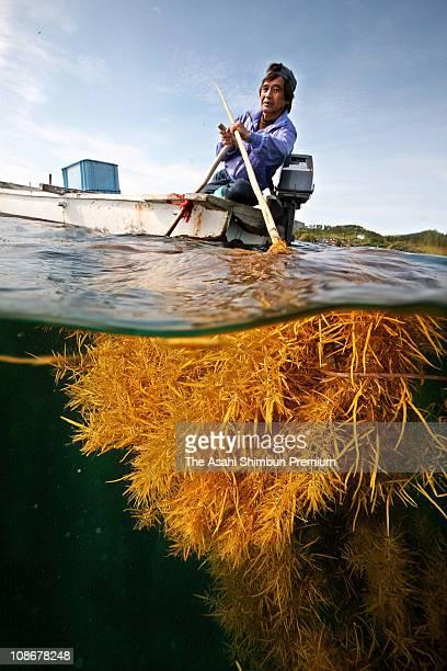 A fisherman crops the seaglasses on May 15 2009 in Okinoshima Shimane Japan