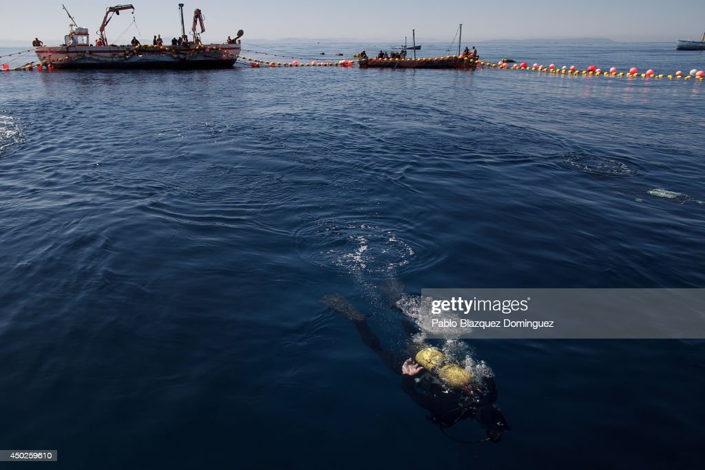 A fisherman dives to pick up nets from underwater as they prepare to fish bluenfin tunas during the end of the Almadraba tuna fishing season on June 3, 2014 near the Barbate coast, in Cadiz province, Spain. Almadraba is a traditional bluefin tuna fishing method in Southern Spain already used during Phoenician and Romans times. Fishers place mazes of nets to catch tuna migrating from the Atlantic Ocean to the Mediterranean Sea and select those that have the best size. Almadraba tuna is well demanded by Japanese for its quality. Today fishers use a different technique to control the catch amount by releasing many of the bluefin tunas before hauling the nets to avoid exceeding their limited quota fixed by International Commission for the Conservation of Atlantic Tunas 'ICCACT'. Almadraba fishers association claim the fishing quota could now be increased as fishers are struggling and the tuna population has recovered quite well.