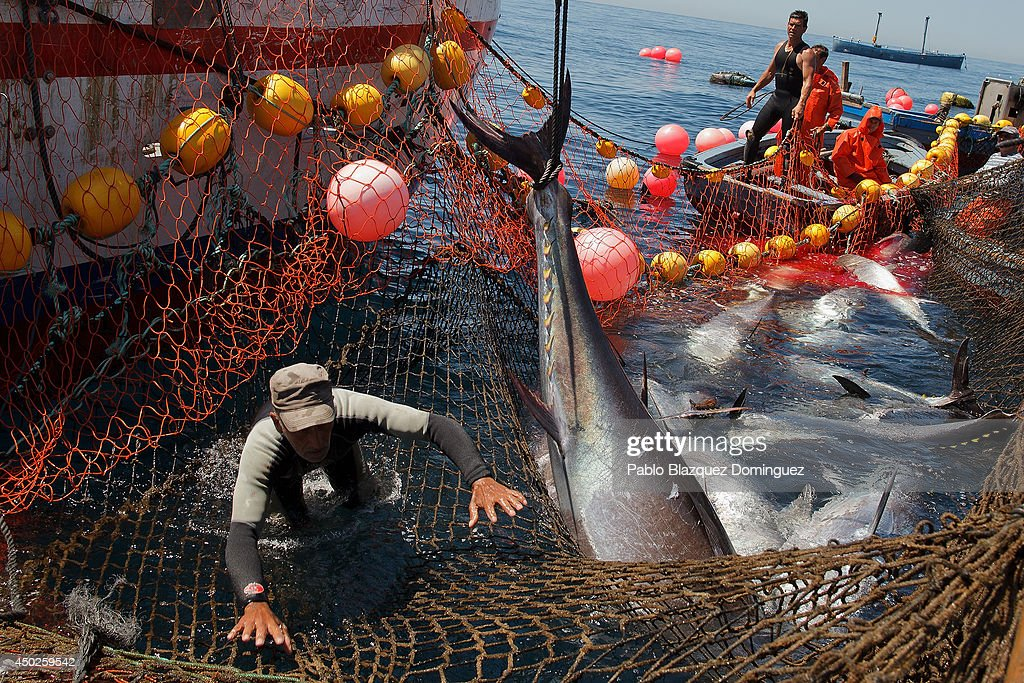 A fisherman jumps off to avoid being hit by a bluefin tuna as it is lift during the end of the Almadraba tuna fishing season on June 3, 2014 near the Barbate coast, in Cadiz province, Spain. Almadraba is a traditional bluefin tuna fishing method in Southern Spain already used during Phoenician and Romans times. Fishers place mazes of nets to catch tuna migrating from the Atlantic Ocean to the Mediterranean Sea and select those that have the best size. Almadraba tuna is well demanded by Japanese for its quality. Today fishers use a different technique to control the catch amount by releasing many of the bluefin tunas before hauling the nets to avoid exceeding their limited quota fixed by International Commission for the Conservation of Atlantic Tunas 'ICCACT'. Almadraba fishers association claim the fishing quota could now be increased as fishers are struggling and the tuna population has recovered quite well.