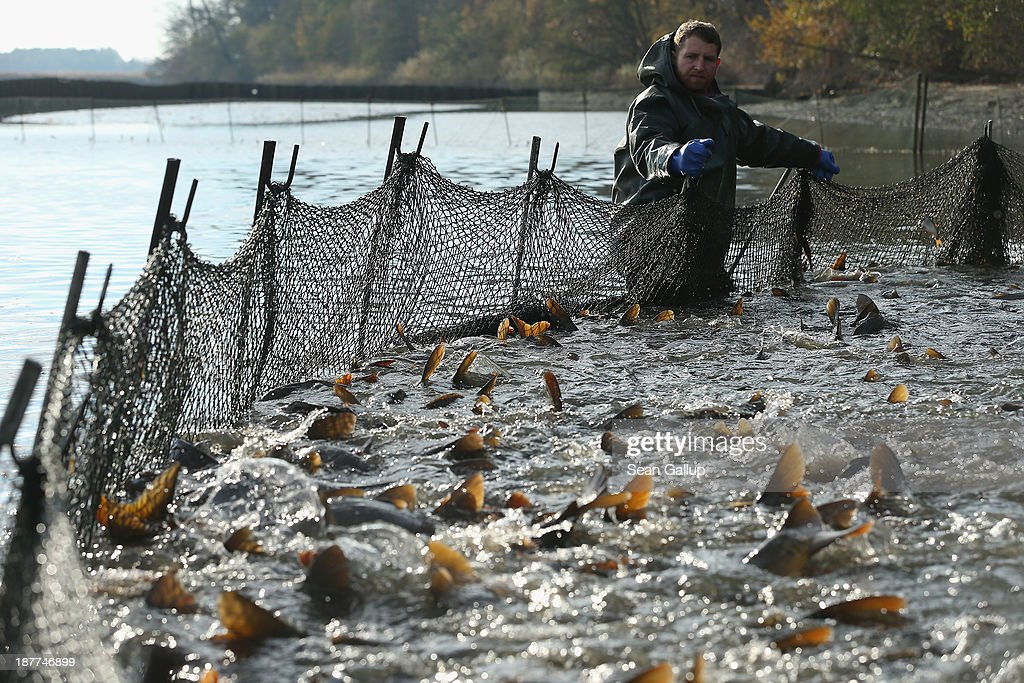 A fisherman secures a net full of carp and other fish during the annual carp harvest at the fish ponds on November 12, 2013 near Peitz, Germany. Fish farming at the over 100 ponds, which are man-made, dates back to the 15th century, and carp is the main fish harvested. Carp is the traditional Christmas dinner in many parts of the region, though one fisherman laments that tastes are changing among younger generations and that the demand for carp will decline.