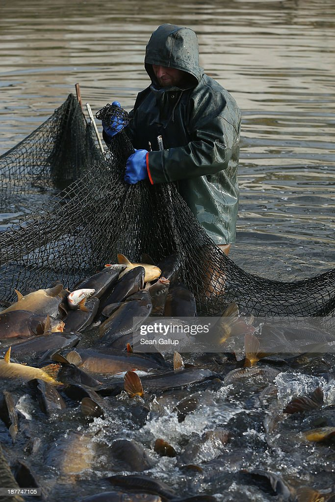 A fisherman secures a net that traps carp during the annual carp harvest at the fish ponds on November 12, 2013 near Peitz, Germany. Fish farming at the over 100 ponds, which are man-made, dates back to the 15th century, and carp is the main fish harvested. Carp is the traditional Christmas dinner in many parts of the region, though one fisherman laments that tastes are changing among younger generations and that the demand for carp will decline.