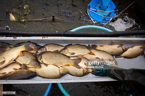 A fisherman sorts fish during the traditional carp haul near the south Bohemian town of Trebon on October 6 2014 in Ponedraz Czech Republic Carp the...