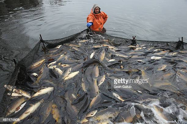 A fisherman stands waistdeep in water over live carp enclosed in a net during the annual carp harvest at fish ponds on November 16 2015 near Peitz...