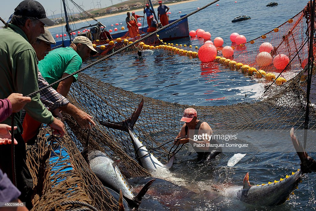 A fisherman ties a bluefin tuna tail in the water during the end of the Almadraba tuna fishing season on June 3, 2014 near the Barbate coast, in Cadiz province, Spain. Almadraba is a traditional bluefin tuna fishing method in Southern Spain already used during Phoenician and Romans times. Fishers place mazes of nets to catch tuna migrating from the Atlantic Ocean to the Mediterranean Sea and select those that have the best size. Almadraba tuna is well demanded by Japanese for its quality. Today fishers use a different technique to control the catch amount by releasing many of the bluefin tunas before hauling the nets to avoid exceeding their limited quota fixed by International Commission for the Conservation of Atlantic Tunas 'ICCACT'. Almadraba fishers association claim the fishing quota could now be increased as fishers are struggling and the tuna population has recovered quite well.