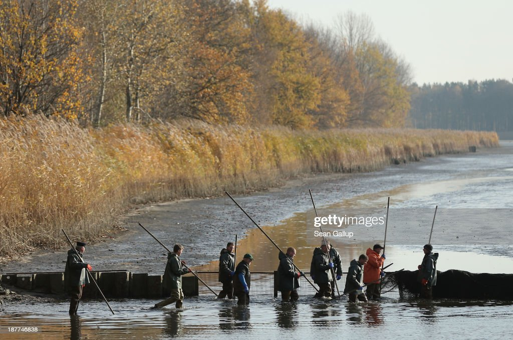 Fishermen carry long poles they will use to pull a net across a fish pond to trap carp and other fish during the annual carp harvest at the fish ponds on November 12, 2013 near Peitz, Germany. Fish farming at the over 100 ponds, which are man-made, dates back to the 15th century, and carp is the main fish harvested. Carp is the traditional Christmas dinner in many parts of the region, though one fisherman laments that tastes are changing among younger generations and that the demand for carp will decline.