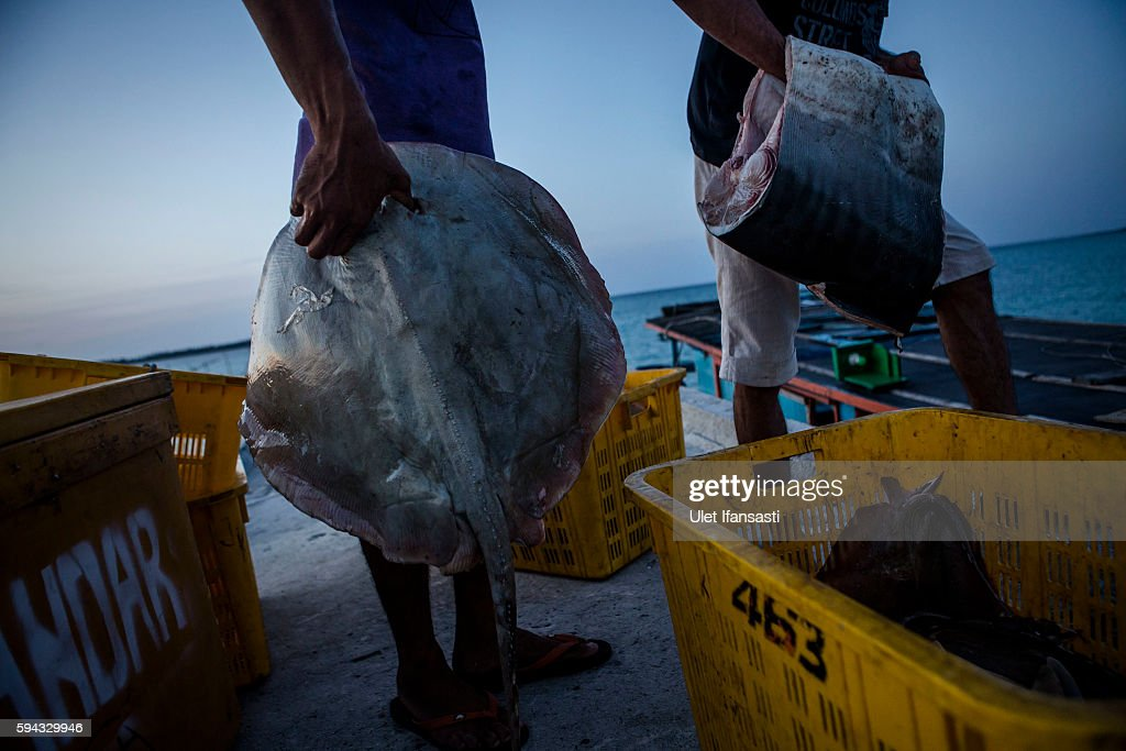 Fishermen carry stingray and shark as they unload at a fishing village on August 18 2016 in Natuna Ranai Indonesia Most of the Natuna locals work as...