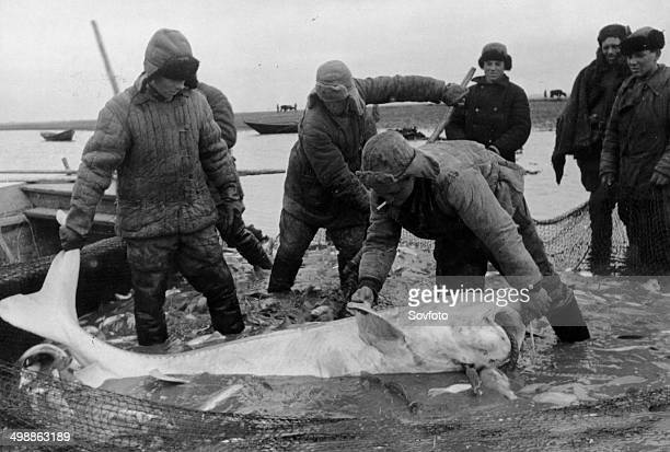 Fishermen from the village of Obkhovka in the Azov District with a large beluga caught in the Don River USSR Late 1940s