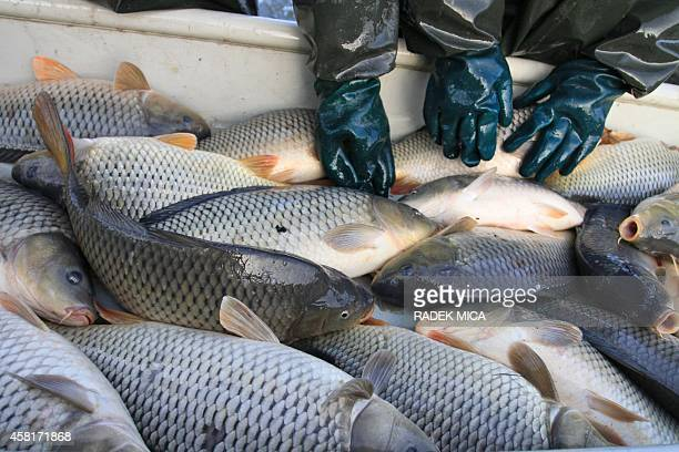 Fishermen load carps to their boat as they take part to the traditional fish harvesting at the Castle pond in Jaroslavice South Moravia on October 31...
