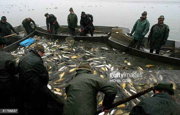Fishermen net carp at Svet pond in the southern countryside of the Czech Republic 12 November 2004 to prepare fish for domestic and European...