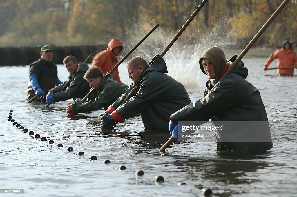 Fishermen pull a net across a fish pond to trap carp and other fish during the annual carp harvest at the fish ponds on November 12, 2013 near Peitz, Germany. Fish farming at the over 100 ponds, which are man-made, dates back to the 15th century, and carp is the main fish harvested. Carp is the traditional Christmas dinner in many parts of the region, though one fisherman laments that tastes are changing among younger generations and that the demand for carp will decline.