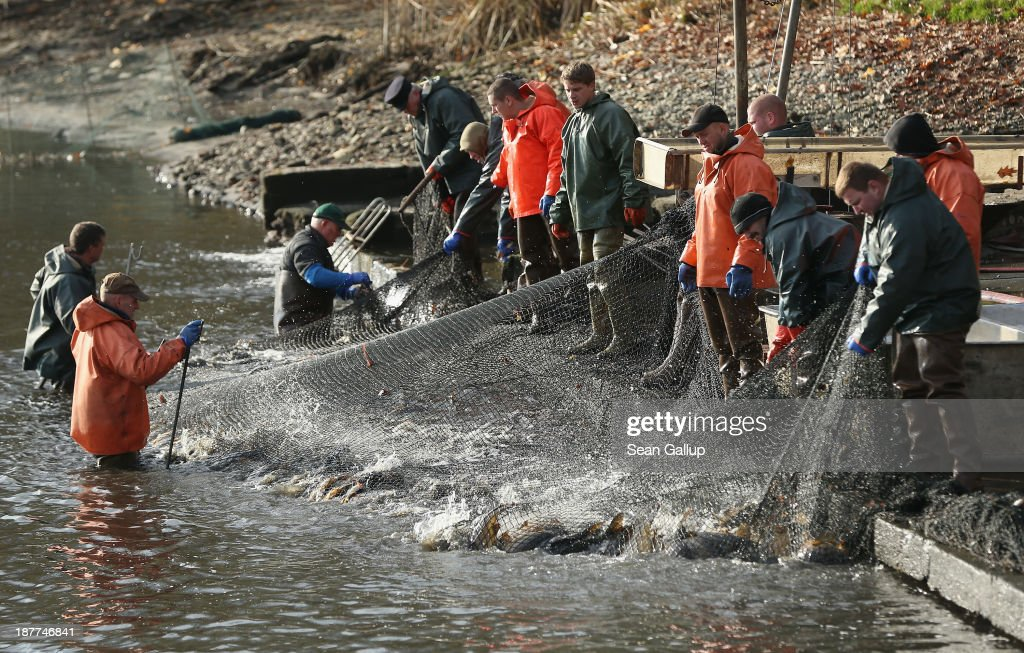 Fishermen secure a net full of carp and other fish during the annual carp harvest at the fish ponds on November 12, 2013 near Peitz, Germany. Fish farming at the over 100 ponds, which are man-made, dates back to the 15th century, and carp is the main fish harvested. Carp is the traditional Christmas dinner in many parts of the region, though one fisherman laments that tastes are changing among younger generations and that the demand for carp will decline.