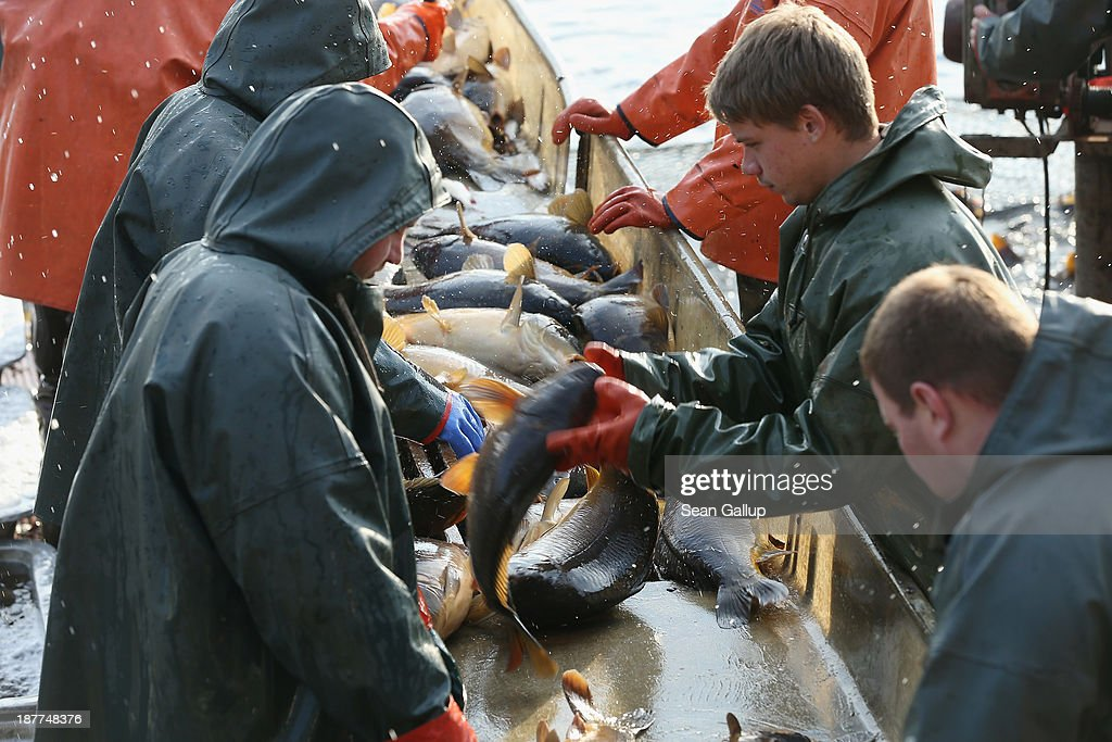 Fishermen sort carp by their size during the annual carp harvest at the fish ponds on November 12, 2013 near Peitz, Germany. Fish farming at the over 100 ponds, which are man-made, dates back to the 15th century, and carp is the main fish harvested. Carp is the traditional Christmas dinner in many parts of the region, though one fisherman laments that tastes are changing among younger generations and that the demand for carp will decline.