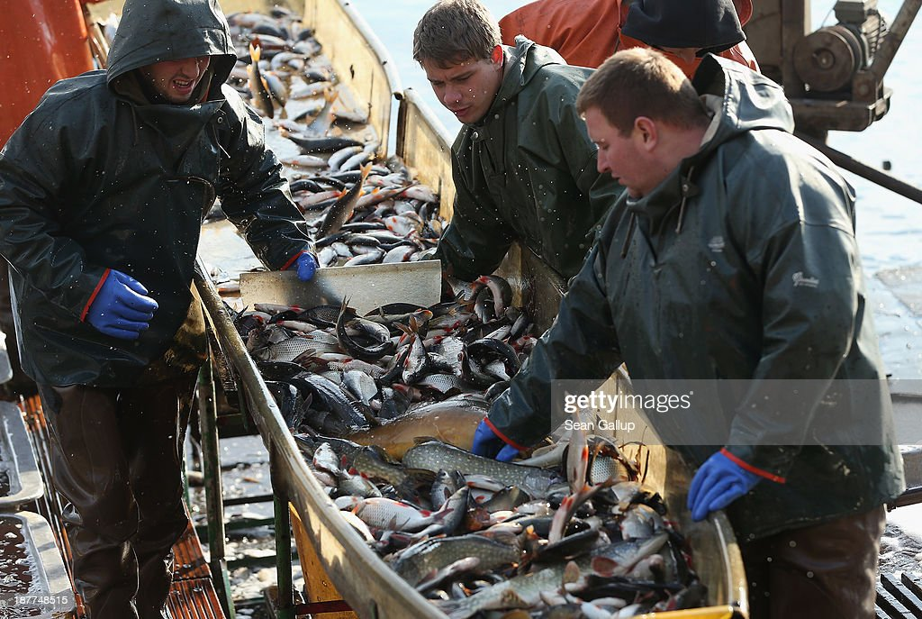 Fishermen sort pike, perch and other fish during the annual carp harvest at the fish ponds on November 12, 2013 near Peitz, Germany. Fish farming at the over 100 ponds, which are man-made, dates back to the 15th century, and carp is the main fish harvested. Carp is the traditional Christmas dinner in many parts of the region, though one fisherman laments that tastes are changing among younger generations and that the demand for carp will decline.