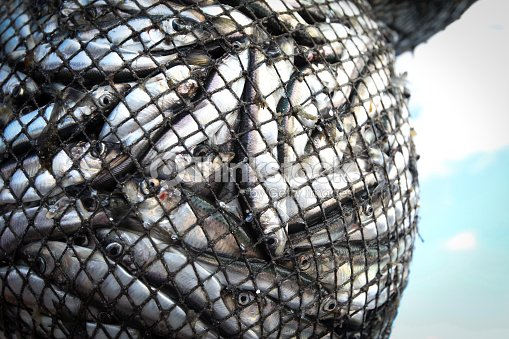 fishes in the net : Stock Photo