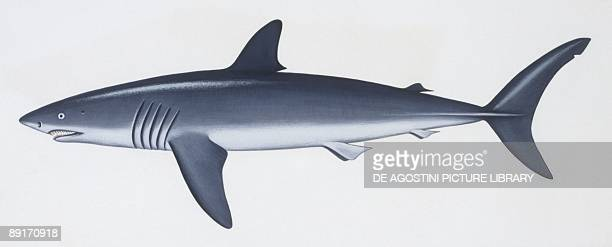 Fishes Lamniformes Shortfin mako illustration