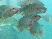 Nile Tilapia (aka St. Peter's Fish) gather at the aquarium's edge.